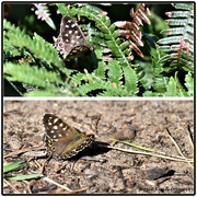 18th Sep 2020 - Butterfly