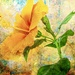happy hibiscus  by samae