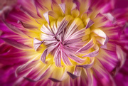 18th Sep 2020 - another dahlia closeup