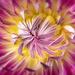 another dahlia closeup