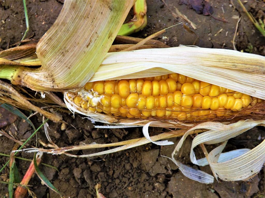Corn on the cob by ajisaac