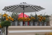 18th Sep 2020 - Sunflowers for Sale