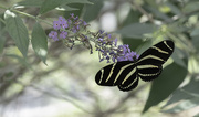 18th Sep 2020 - Zebra Longwing