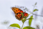 18th Sep 2020 - Gulf Fritillary