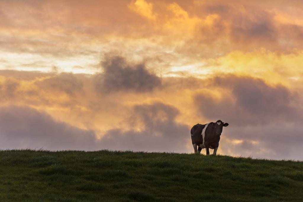 Steer at Sunrise by nickspicsnz