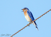 18th Sep 2020 - Bird on a Wire