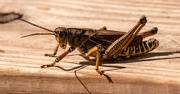 18th Sep 2020 - Eastern Lubber Grasshopper!