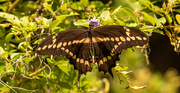 18th Sep 2020 - Giant Swallowtail Butterfly!