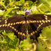 Giant Swallowtail Butterfly!