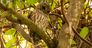 18th Sep 2020 - Barred Owl!