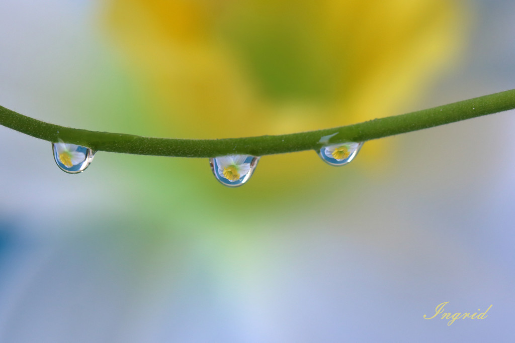 Droplets with fake daffodil by ingrid01