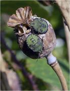 17th Sep 2020 - Green Shieldbugs