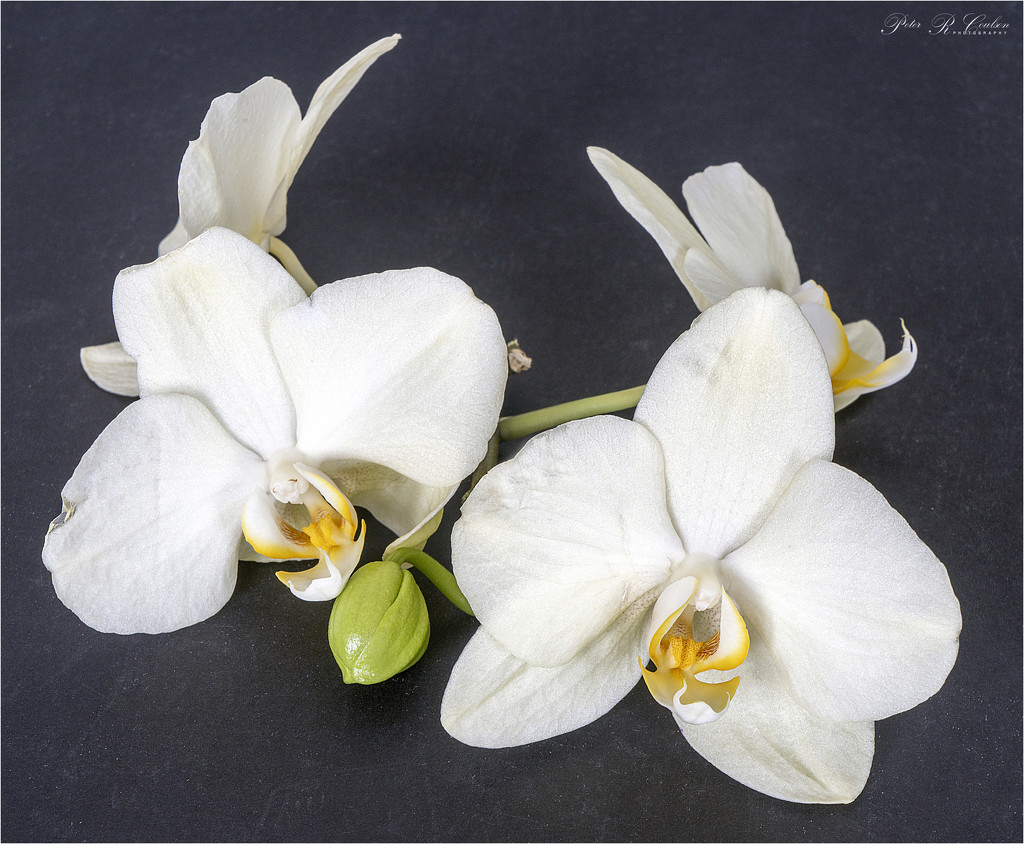 White Orchids by pcoulson