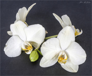 18th Sep 2020 - White Orchids