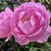 'This Sceptred Isle' rose...