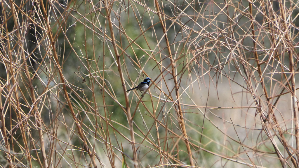 Superb Blue Wren by hrs