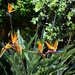 Strelitzia .. Bird of paradise ~