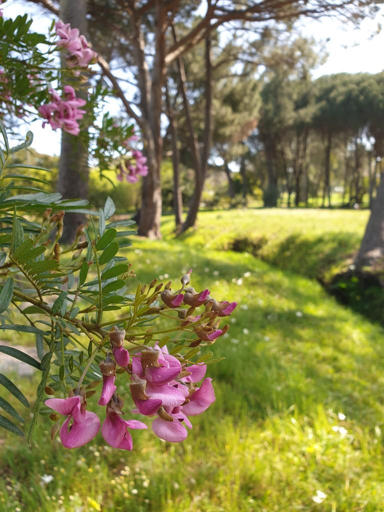 Keurboom is in bloom by eleanor