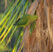 19th Sep 2020 - Green parrot