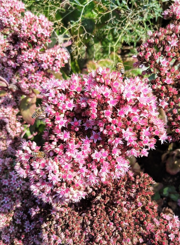 Bees on sedum by boxplayer