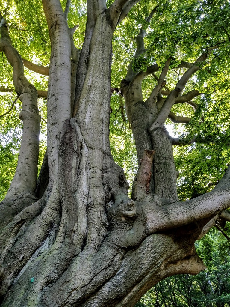 Gnarled old beech by boxplayer