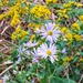 Purple Asters and Goldenrod