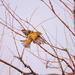 litte warbler
