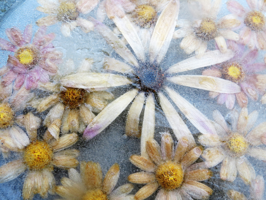daisies by kali66