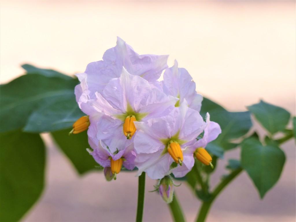 Potato Flower  by susiemc