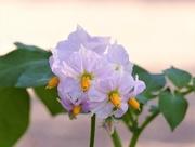 15th Sep 2020 - Potato Flower
