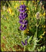 12th Sep 2020 - flocked lavender