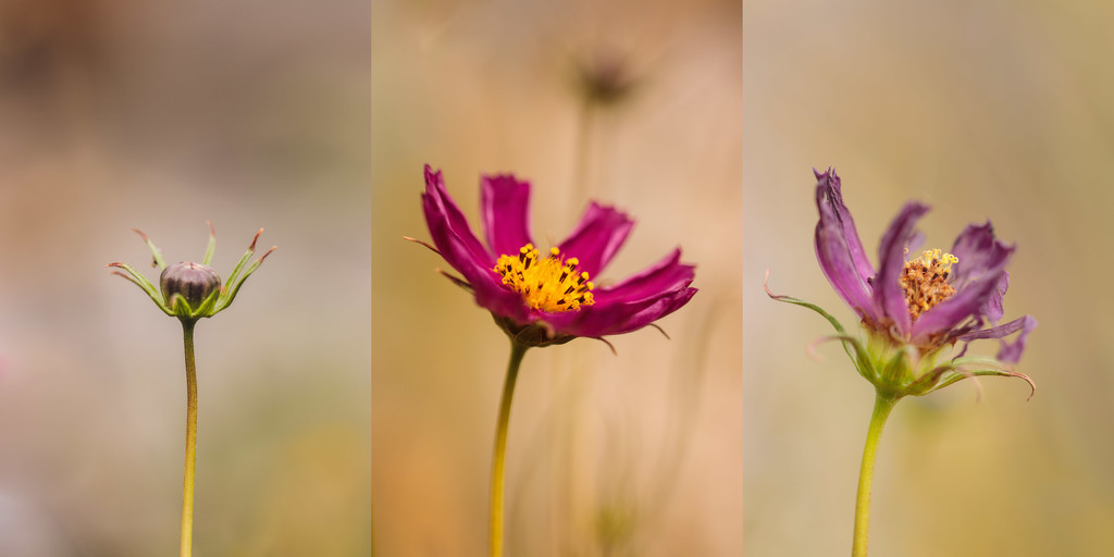 cosmos by aecasey