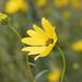 Swamp Sunflower