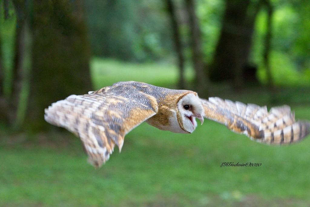 LHG-1994- Barney the Barn Owl by rontu