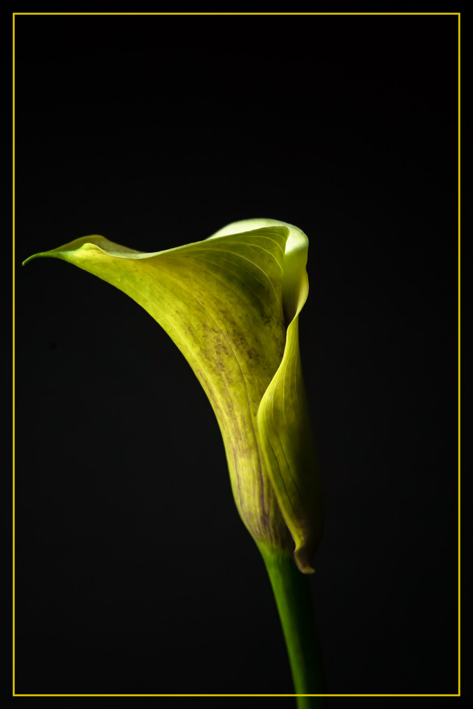 calla lily by jernst1779