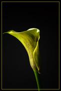 19th Sep 2020 - calla lily