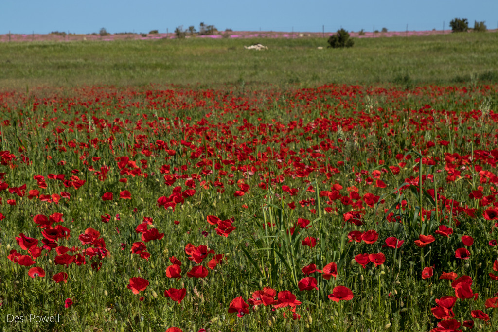 Poppies, glorious poppies by seacreature