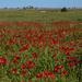 Poppies, glorious poppies