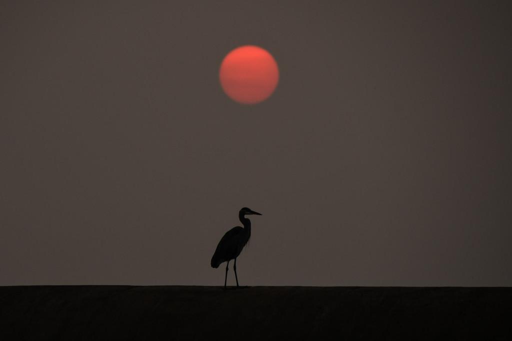 Great Blue Heron and Kansas Sunset by kareenking