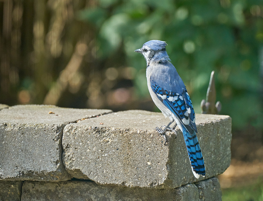 Another Day, Another Bluejay by gardencat