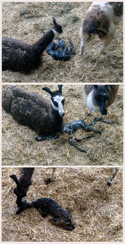 Cria Llama by pcoulson