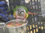 19th Sep 2020 - Parrot at Pet Store