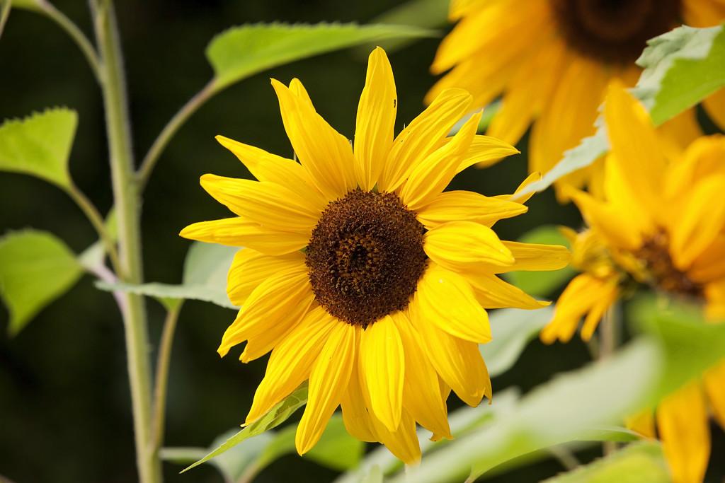 This years sunflowers by kiwichick