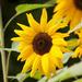 This years sunflowers