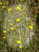 20th Sep 2020 - Pityopsis graminifolia...