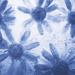 mono daisies