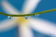 20th Sep 2020 - Droplets with a Frangipani flower