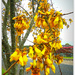 Kowhai up close...