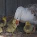 Seven Little Sebastopol Geese