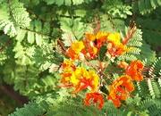 20th Sep 2020 - Pride of Barbados Blooming